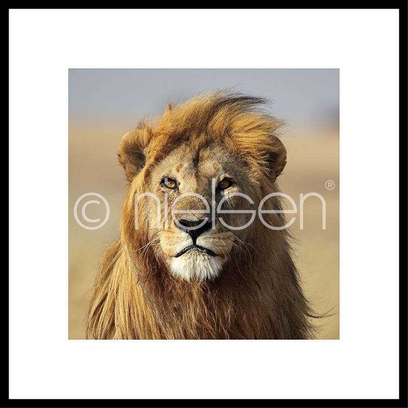 """Beeld met lijst """"Lion"""" met lijst van aluminium C2"""