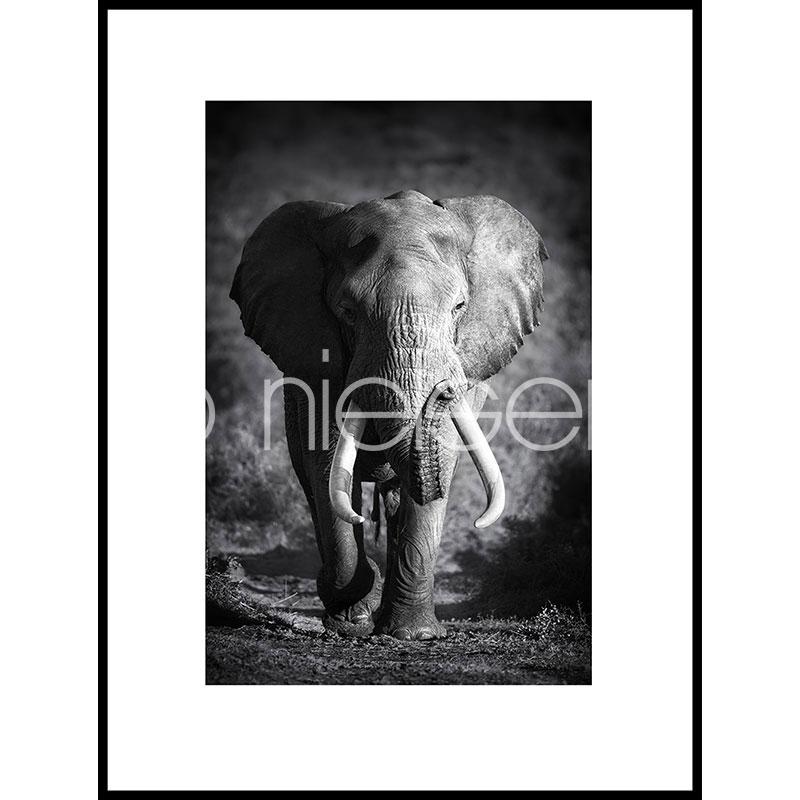 """Beeld met lijst """"Elephant black and white"""" met lijst van aluminium C2"""