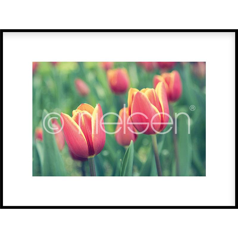 """Beeld met lijst """"Tulips"""" met lijst van aluminium C2"""